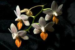 _DSC7035 (ChanHawkins) Tags: orchid feb25 2011 goldstaraward orchidsocietyofalberta exquisitelygorgeousflowers 2011orchidsocietyofalberta