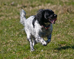 IMG_3750 (Malcolm Alce-King) Tags: dogs wales carmarthenshire dof springerspaniel wfc pontyberem cfw sigma120400mm gwendraethvalley