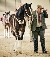 IMG_8408 (Tony Golding) Tags: horse shire shirehorse tonygolding heavyhorsephotography shirehorsesocietyspringshowcollection forgetmenothere