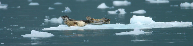 Harbor seals-1.jpg