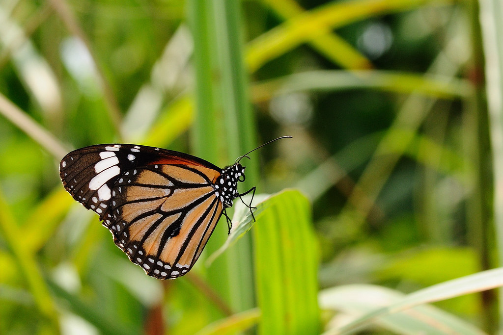 黑脈樺斑蝶 Danaus genutia