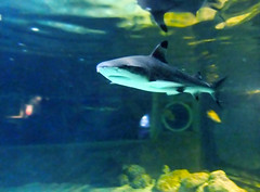 A Black Tip Reef Shark at Portsmouth's Blue Reef Aquarium. (Beardy Vulcan) Tags: ocean winter sea england fish water animal fauna aquarium march shark underwater hampshire portsmouth predator undersea southsea carnivore 2011 blacktipreefshark carcharhinusmelanopterus bluereef portseaisland