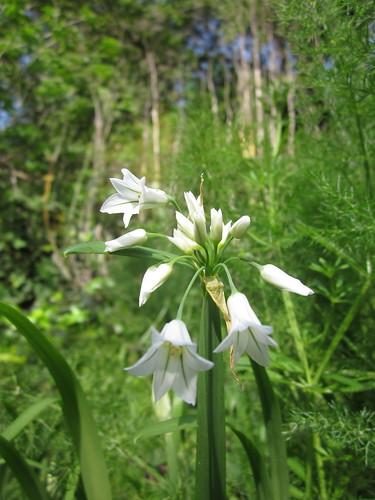 Wild Onion Lily Flowers