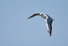 mignattino (andrea0250) Tags: italia uccelli wwf emiliaromagna uccello oasi larizza d300s mignattino andrea0250 bentovoglio