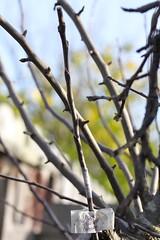 Apple 'Belle de Boskoop' Graft (joeysplanting) Tags: apple scion grafting graft grafts rootstock belledeboskoop applebelledeboskoop graft201121