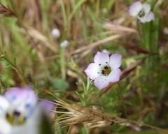 Birdseye Gilia 03 (Tom Hilton) Tags: color wildflowers gilia polemoniaceae giliatricolor windwolvespreserve