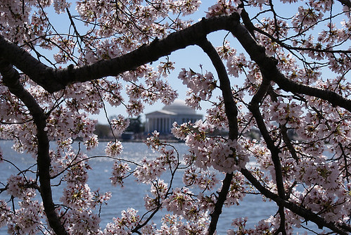 Pink cherry blossoms in D.C.