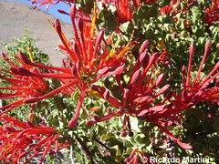 Tristerix verticillatus (Chilebosque) Tags: del molle loranthaceae quintral verticillatus tristerix parsitas tristerixverticillatus