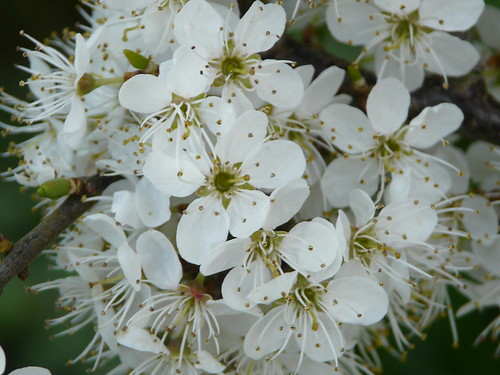 Blackthorn (Prunus spinosa) by Peter Orchard