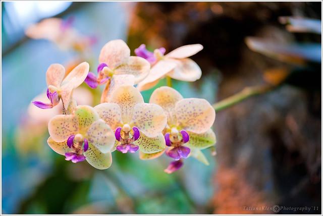 К чему снится орхидея