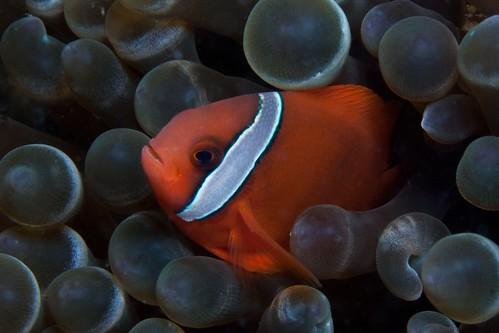 Peeping Tomato Clownfish