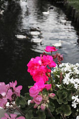 Flores y patitos ( Sara  Wlackgoth ) Tags: pink flores flower water amsterdam rio river canal duck agua patos
