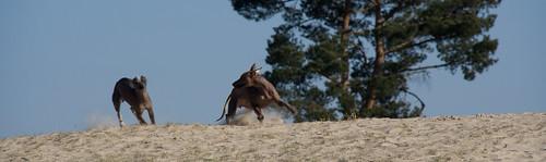 Sari chasing Naqui - Peruvian Hairless Dog