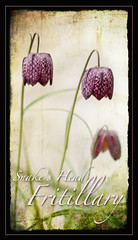 Snake's head fritillary (Mike Ashton) Tags: plant flower garden petal bloom snakesheadfritillary