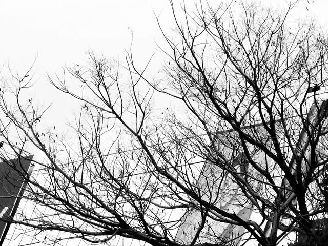 IMG_1599 Dead Tree , 枯树