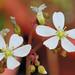 岔葉毛氈苔的花