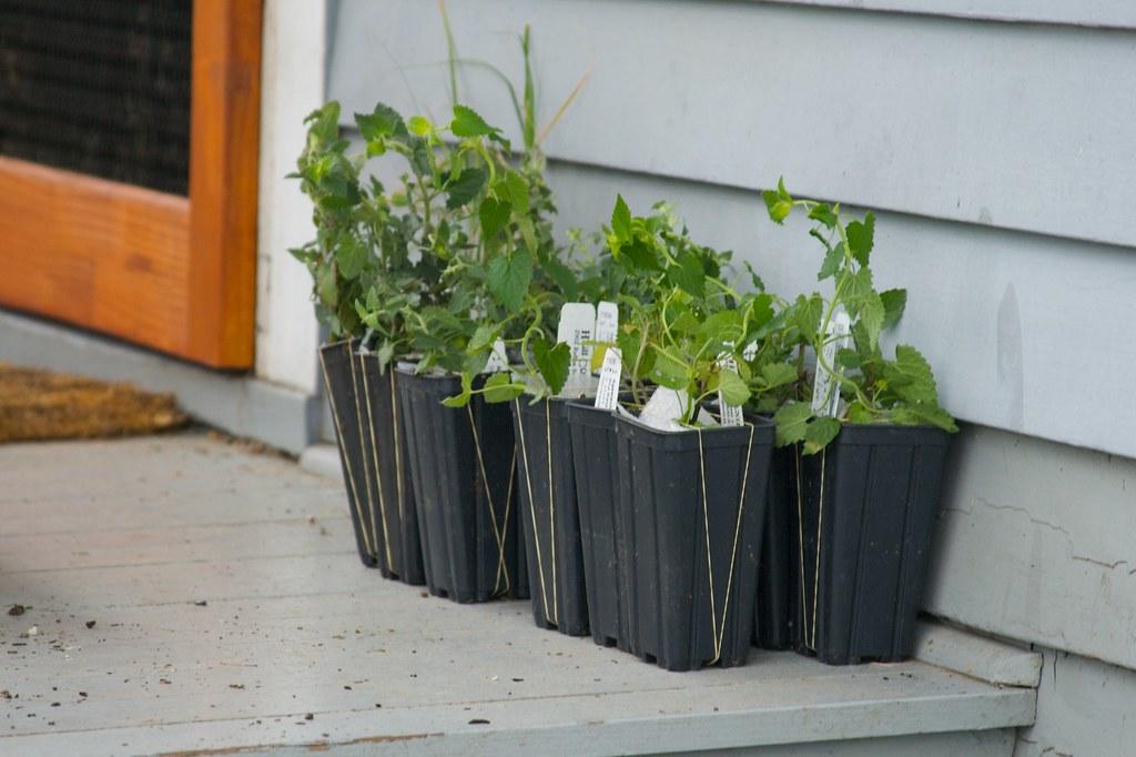 hcg plants  042