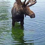 Stilts, the hand raised moose at Bear World, ID 4 thumbnail