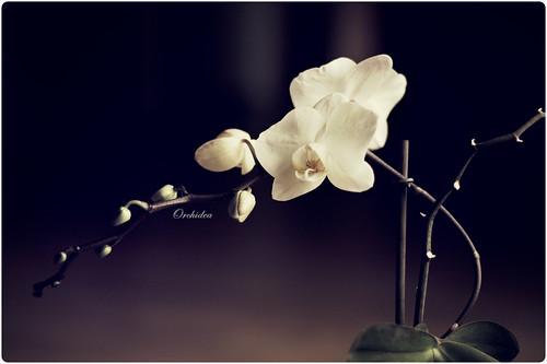 ORCHIDEA by jmavedillo