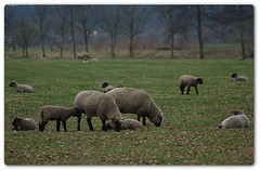 sheep family (rafischatz... www.rafischatz-photography.de) Tags: nature sheep pentax flock tamron 70300 animsl k200d mygearandme