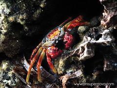 Cangrejo multicolor (AniSuperNova83) Tags: ocean sea animal fauna island mar marine colombia colorfull crab isla marino multicolor golfo oceano caribe colombiano cangrejo mucura supernova83 morrosquillo anisupernova 2009ago17