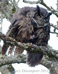 Great Horned Owl (Garebear400) Tags: wild bird nature forest wildlife great owl gho horned nwr d300 ridgefield