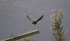 Kingfisher14 (lorrainejubb) Tags: kingfisher oldmoor rspb diving catchingfish