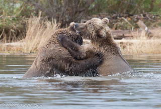 Bear Hugs or Bear Fights