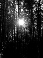 Shine Sunshine Shine (De Orval) Tags: tree nature bw tonal black white sun sunshine forest fort iphone ios iphone6 reflect