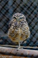 _20161010_007 (M.Pigmyowl) Tags: burrowingowl zoo      jp