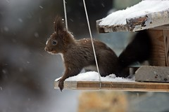 Im hungry (TomTompson) Tags: christmas nature moving squirrel sony nuts hungry nut alpha ssm eichhrnchen tomtom beautifulnature a390 tomtompson 70400 sal70400g dslra390