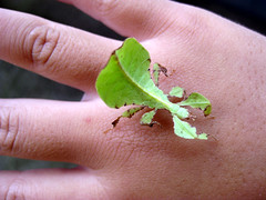 Leaf Insect by Matthew Kenwrick, on Flickr