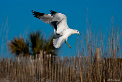 coming in (Matthew Trudeau Photography) Tags: sc nature birds seagull sony southcarolina alpha specanimal sonya200 sonyalpha200 sonyalphadslra200 rftrudeau
