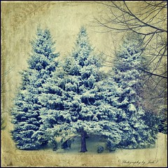 Spruce Trio (Photography by Judi V) Tags: winter snow cold texture pinetree pine freezing spruce sprucetree photographybyjudiv judivuletich jiv2000