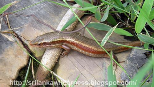Eutropis carinata lankae/ Common skink /සුලබ හිකනලා