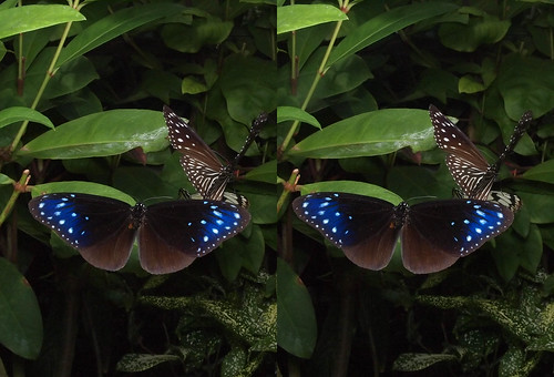 Euploea mulciber, stereo parallel view