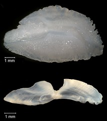Yellowtail Snapper Otolith (FWC Research) Tags: fish florida research otolith