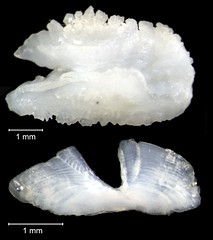 Sand Tilefish Otolith (FWC Research) Tags: fish florida research otolith