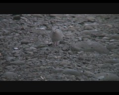 Leptotela verreauxi (White-tipped Dove) (Arthur Chapman) Tags: video costarica santarosa guanacaste verreauxi whitetippeddove parquenacionalsantarosa taxonomy:class=aves taxonomy:kingdom=animalia taxonomy:phylum=chordata taxonomy:family=columbidae taxonomy:order=columbiformes santarosanationalpark geocode:accuracy=200meters geocode:method=googleearth geo:country=costarica geo:region=centralamerica leptotela leptotelaverreauxi taxonomy:genus=leptotela taxonomy:binomial=leptotelaverreauxi taxonomy:common=whitetippeddove
