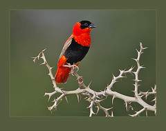 Northern Red Bishop (Rainbirder) Tags: euplectesfranciscanus supershot specanimal thewildlife avianexcellence northernredbishop 10nw coth5 5wonderwall