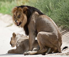 Mating Lions (Denis Roschlau Photography) Tags: africa southafrica big lion capetown mating afrika predator ktp südafrika lionshead mane bigfive westerncape big5 kapstadt matinglions northerncape kalaharidesert kgalagaditransfrontierpark nossob blackmane