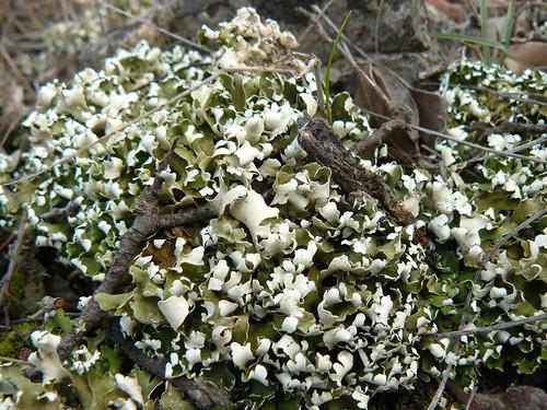 cladonia foliacea endiviifolia