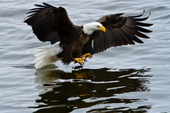 Bald Eagle Reflections in the Water (w4nd3rl0st (InspiredinDesMoines)) Tags: winter wallpaper fish jason color reflection bird nature water closeup canon computer river mississippi spectacular fun photography flying droplets illinois wings fishing eagle screensaver outdoor lock dam wildlife 14 birding feather inspired iowa tourist talon raptor gore 7d plugin daytime nik dslr impressive fisheagle detailed baldeagles stockphotography efx wildbirds 2011 100400l 100400 eaglefishing leclaire lockanddam14 lightroom3 bestplaces colorefx inspiredphotography slbfishing nikcolorefx mrachina wwwinspiredphotographydsmcom w4nd3rl0st