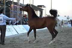 Kuwait - Arabian Show18 Feb 2011 (frenzyyyy1) Tags: show horses horse championship mare national kuwait arabian arabianhorse horseshow foal  arabianhorses  arabische   arbian caballosrabes cavalliarabi kuwaitarabianhorsenationalchampionshipshow viewphotosfromyouorfromeveryone  x paardel  arabianhesta arabischepferde arabiskahstar  arapatlar ceffylauarabaidd  araberheste