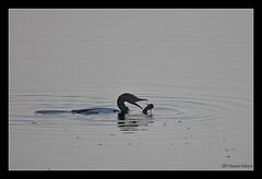 Cormorant and Cat(ch)fish (Deepak Kul) Tags: india birds maharashtra bif canon100400 bhigwan aroundpune canoneos40d deepakkulkarni