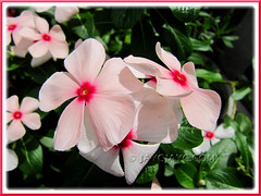 Catharanthus roseus (Cape Periwinkle), a lovely apricot variety with red eye