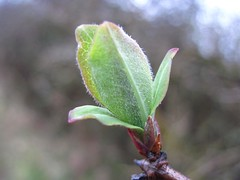Skrinkle, Manorbier a wonderful sign of spring (joysaphine) Tags: winter green nature wales geotagged leaf flickr joy young fresh top20nature local honeysuckle pembrokeshire manorbier signofspring skrinkle mycountry bbcwalesnature february2011 joysaphine winter20102011