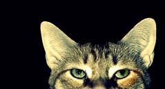 Deev (shannonsl) Tags: cats green closeup eyes kitties deev