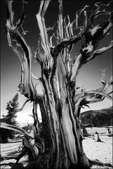 ancient one (jody9) Tags: whitemountains bristleconepine ancienttree