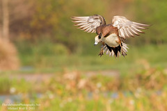 American Widgeon Landing - 6911 (floridanaturephotography) Tags: duck florida flight american wetlands fowl drake widgeon americanwigeon anasamericana baldpate americanwidgeon mareca dabblingduck greencay floridanaturephotography widgeonflight